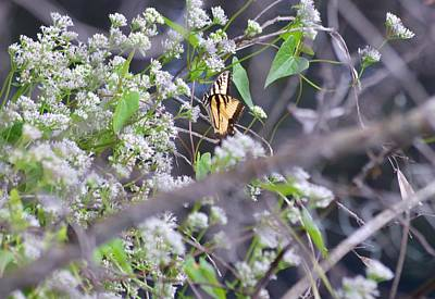Photograph - Eastern Tiger Swallowtail In The Distance by Warren Thompson