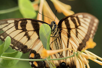 Photograph - Eastern Tiger Swallowtail In The Honeysuckle by Liza Eckardt