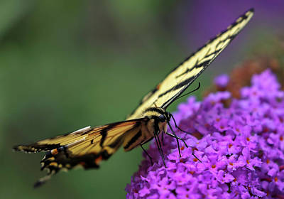Art Print featuring the photograph Eastern Tiger Swallowtail by Juergen Roth