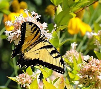 Photograph - Eastern Tiger Swallowtail by Katherine White