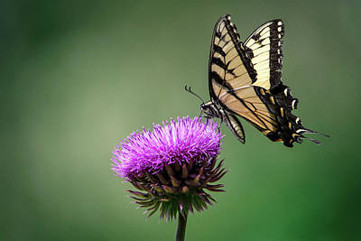 Photograph - Eastern Tiger Swallowtail by Linda Shannon Morgan