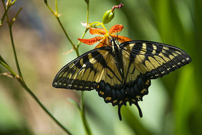 Wall Art - Photograph - Eastern Tiger Swallowtail by Maureen Janson Heintz