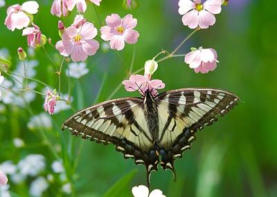 Photograph - Eastern Tiger Swallowtail by Michael Peychich