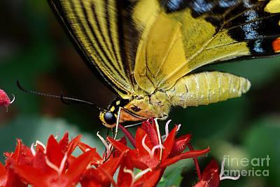 Photograph - Eastern Tiger Swallowtail by Olga Hamilton