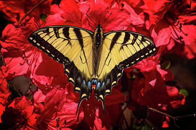 Photograph - Eastern Tiger Swallowtail On Red Azaleas by John Haldane
