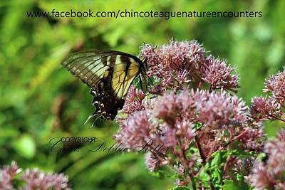 Photograph - Eastern Tiger Swallowtail Papilio Glaucus Female 2 by Captain Debbie Ritter