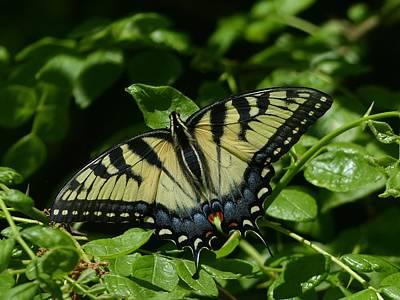 Wall Art - Photograph - Eastern Tiger Swallowtail by Robert Papps