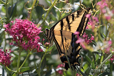 Photograph - Eastern Tiger Swallowtail by Ronald Grogan