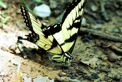 Photograph - Eastern Tiger Swallowtail  by Sheila Brown