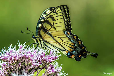 Photograph - Eastern Tiger Swallowtail by Skip Tribby