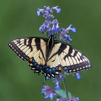 Eastern Tiger Swallowtail Wingspan Art Print