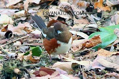 Photograph - Eastern Towhee 0860 by Captain Debbie Ritter