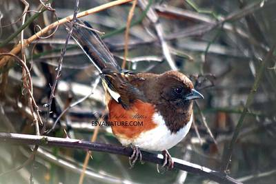 Photograph - Eastern Towhee 3533 by Captain Debbie Ritter