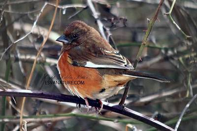 Photograph - Eastern Towhee 3545 by Captain Debbie Ritter