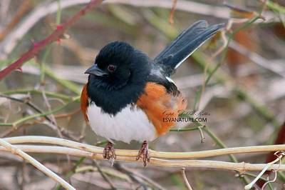 Photograph - Eastern Towhee 3614 by Captain Debbie Ritter