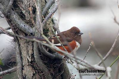Photograph - Eastern Towhee 4356 by Captain Debbie Ritter