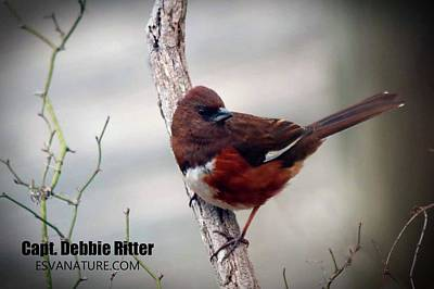 Photograph - Eastern Towhee 4385 by Captain Debbie Ritter