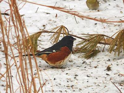 Photograph - Eastern Towhee In Snow by Joe Duket