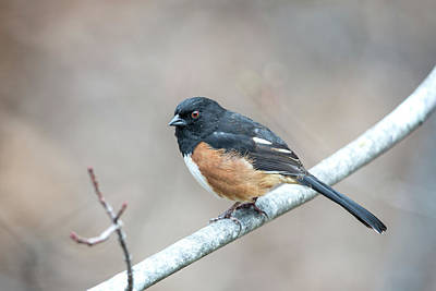 Photograph - Eastern Towhee by John Haldane