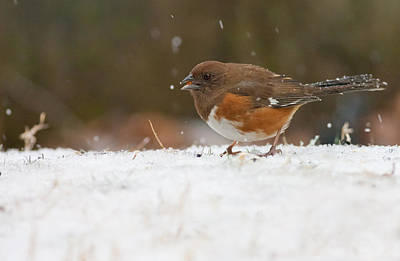 Photograph - Eastern Towhee by Melinda Fawver