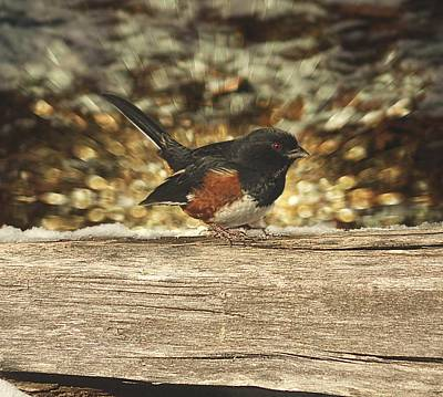 Photograph - Eastern Towhee On Alert by Joe Duket
