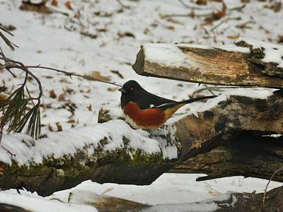 Photograph - Eastern Towhee On Branch by Joe Duket