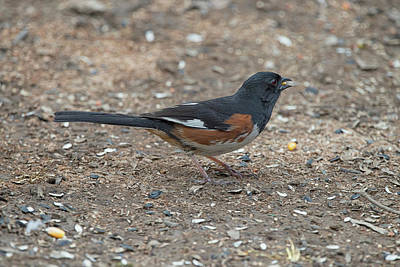 Eastern Towhees Are Birds Of The Undergrowth Art Print