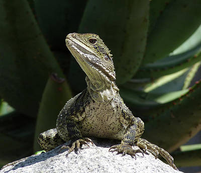 Photograph - Eastern Water Dragon by Margaret Saheed