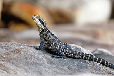 Photograph - Eastern Water Dragon by Nicholas Blackwell