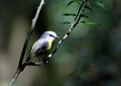 Photograph - Eastern Yellow Robin by Nicholas Blackwell