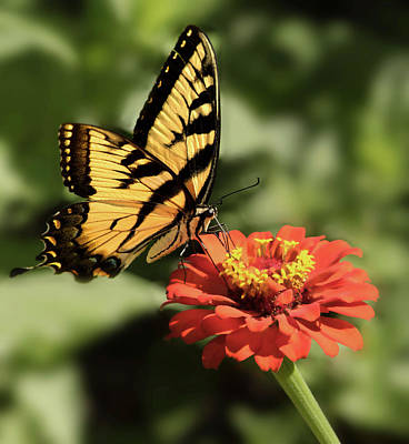 Photograph - Eastern Yellow Swallowtail by Don Spenner