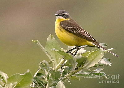Photograph - Eastern Yellow Wagtail by Myrna Bradshaw