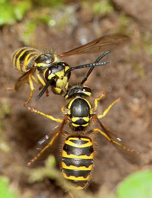 Photograph - Eastern Yellowjackets In Flight by Bernard Lynch
