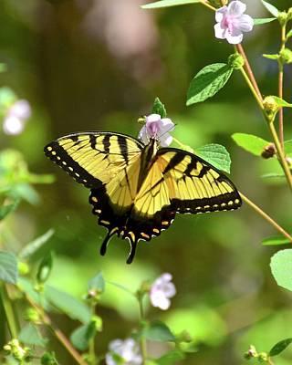 Photograph - Easton Tiger Swallowtail On Caesar Weed by Carol Bradley