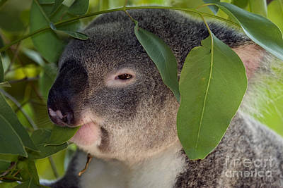 Koala Wall Art - Photograph - Eat Your Greens by Mike  Dawson