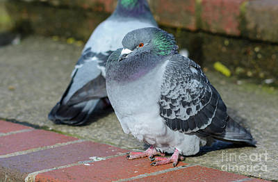 Pigeon Photograph - Eaten Too Much by Geoff Smith