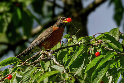 Photograph - Eating Berries by Inge Riis McDonald