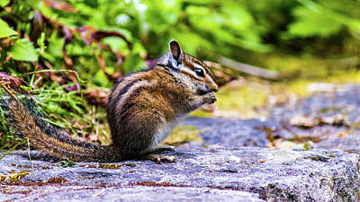 Art Print featuring the photograph Eating Chipmunk by Jonny D