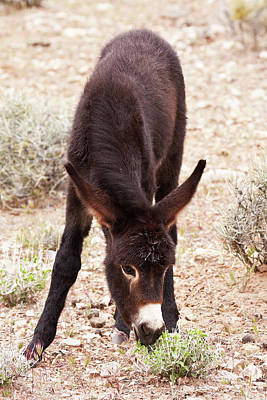 Donkey Foal Photograph - Eating Green by James Marvin Phelps