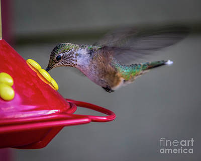Photograph - Eating On The Fly by Jon Burch Photography