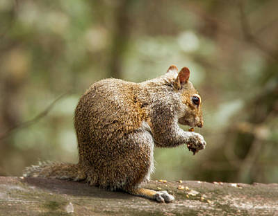 Photograph - Eating Squirrel by Jean Noren