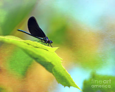 Photograph - Ebony Jewelwing Damselfly by Kerri Farley