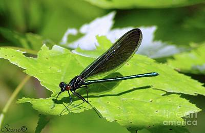 Photograph - Ebony Jewelwing Damselfly by September Stone