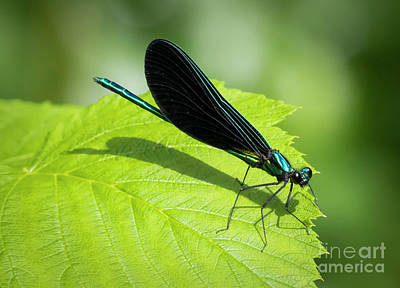 Photograph - Ebony Jewelwing by Ricky L Jones