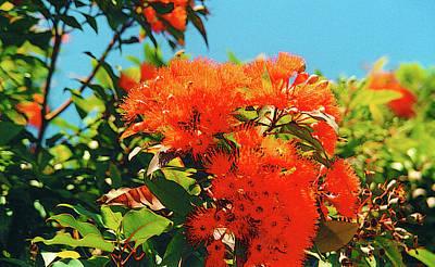 Photograph - Ecalyptus Bush by Robert J Sadler