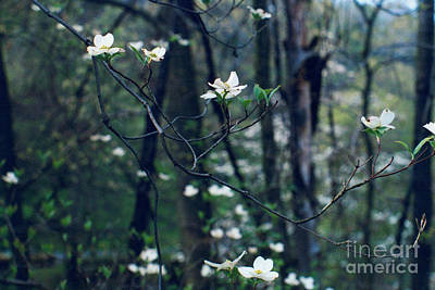 Photograph - Ec Dogwood by Mary Kobet