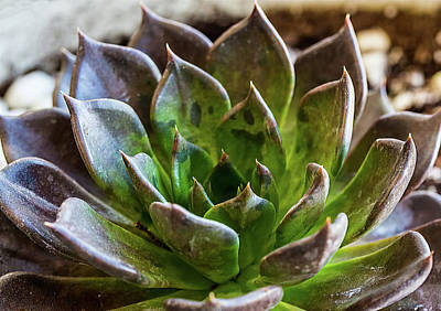 Photograph - Echeveria Black Prince by Richard Goldman
