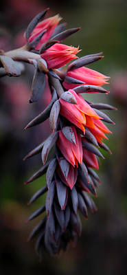 Succulent Digital Art - Echeveria Flowers by Jessica Jenney