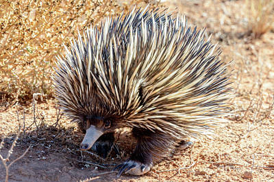 Photograph - Echidna 01 by Werner Padarin