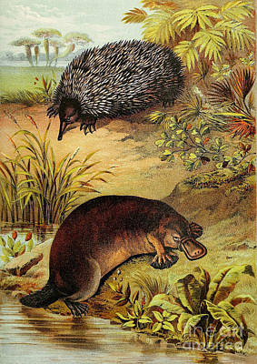 Platypus Photograph - Echidna And Platypus, Egg-laying Mammals by Biodiversity Heritage Library